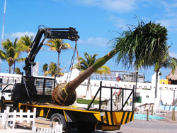 post 349 transplanting_palm_tree6