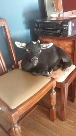 post 423 goat