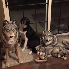 post 521wolf 1