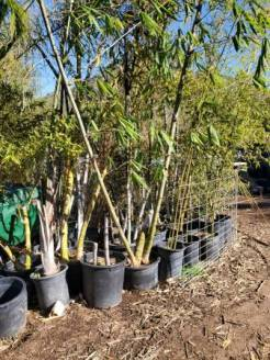 post 831 bamboo 4